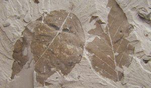 Foglie fossili. Wikimedia Commons.